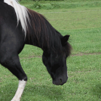 Willy auf dem Hof PonyGlück